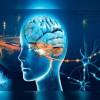 UB: La neuroenginyeria de precisió permet reproduir in vitro funcions cerebrals complexes