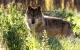 El projecte transfronterer LoupO monitoritzarà óssos i llops dels Pirineus
