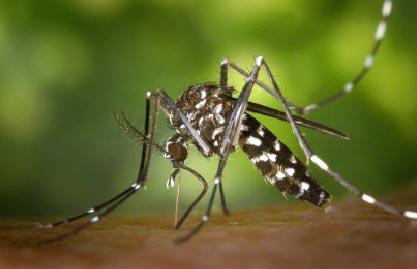 47_mosquito-tigre