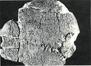 -imatges-782_fossiltrobataljacimentdorce.jpg