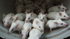 pp ratas