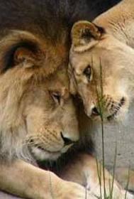 llarg lion-roux-blanc-lion-calin-img