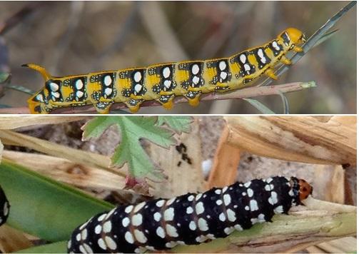 Hyles euphorbiae  i  Brithys crini web