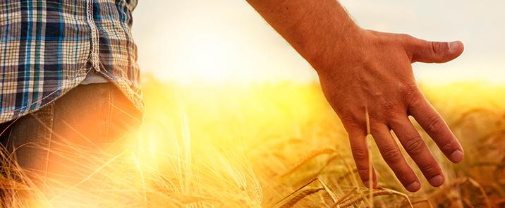 Mar_2013-F3-wheat-sunshine-i32422204-716x295