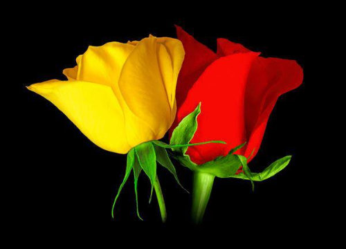 sant jordi roses grogues i vermelles