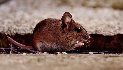 ratolins