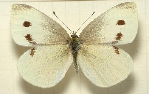 Pieris.rapae