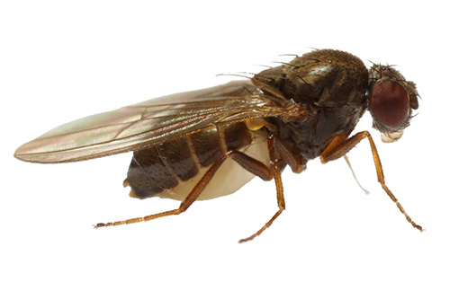 Drosophila_subobscura