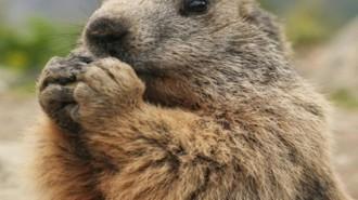 marmota alpina pirineus